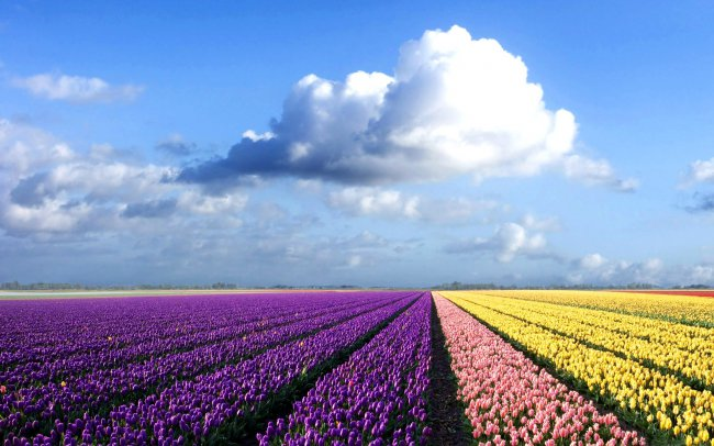 Netherlands Flower Fields