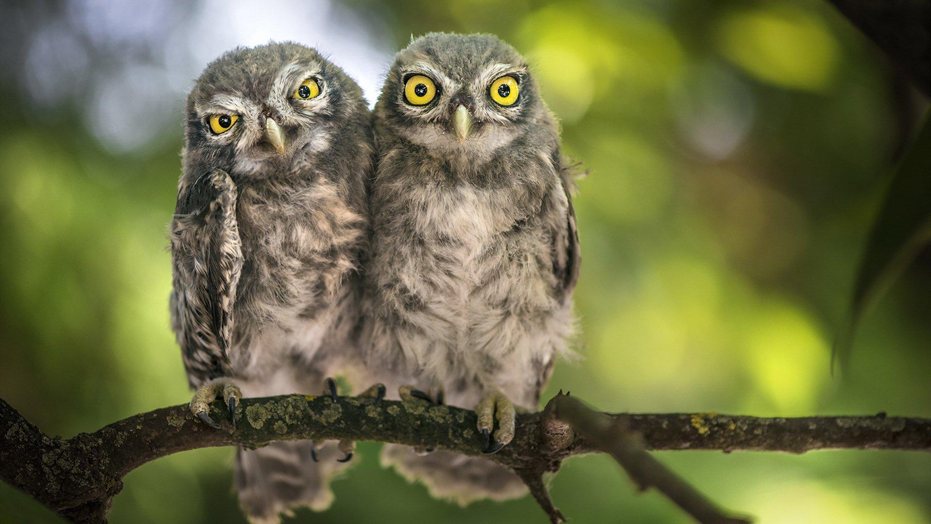 Обои две совы на рабочий стол