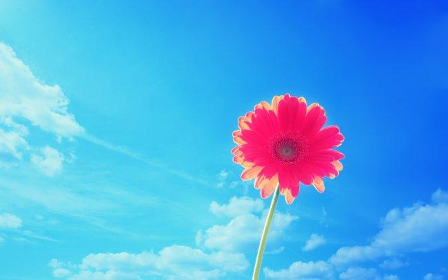 Розовый Гербер на фоне синего неба