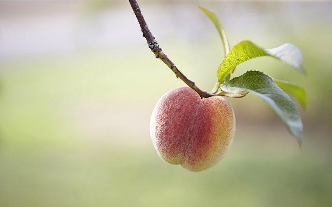 Персик на ветке дерева