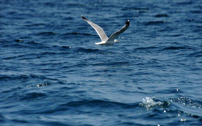 Полет чайки над водой
