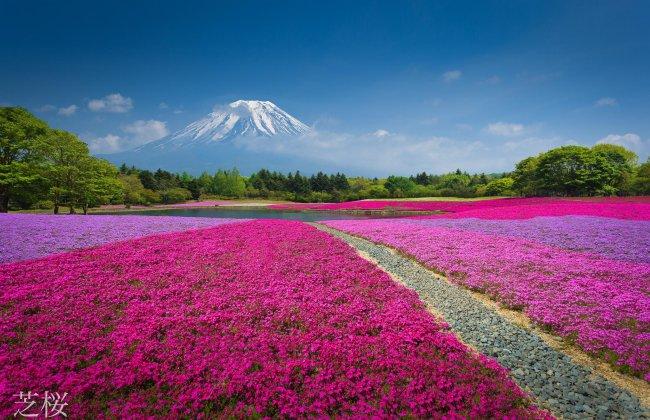 Поле цветов на фоне горы / Китай