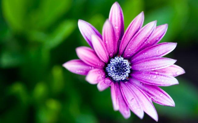 Фиолетовый цветок в росе
