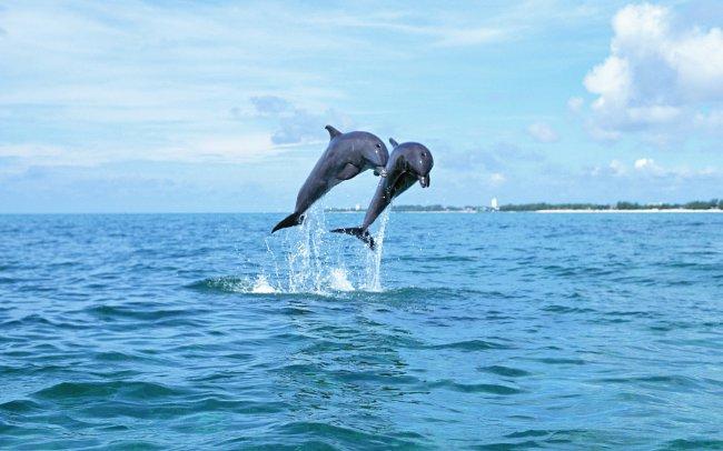 Два дельфина в море