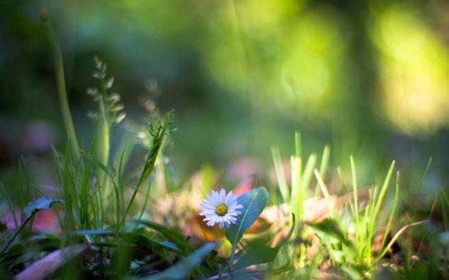 Белый цветок / Ромашка