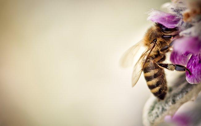 Пчела собирает нектар с цветка