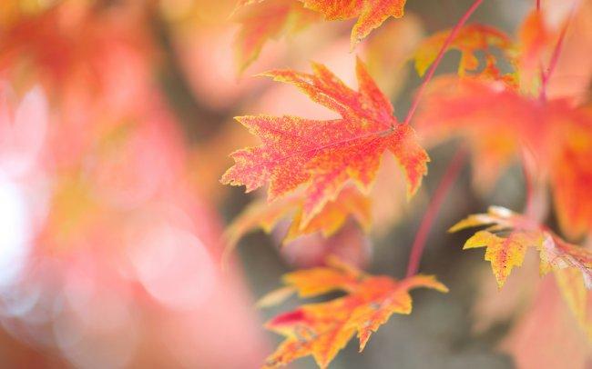 Красно-желтые листья клена