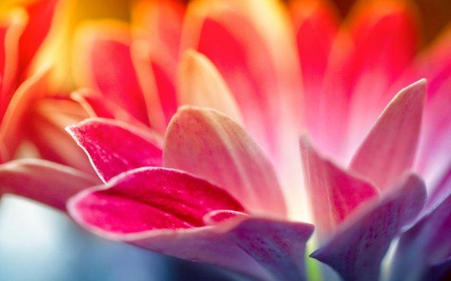 Розовато-алые лепестки