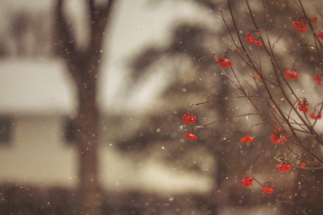 Зимняя красная рябина