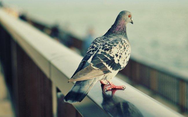 Городской голубь