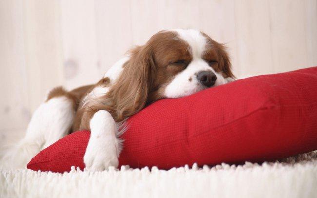 Спящая собака породы Кавалер Кинг Чарльз Спаниель