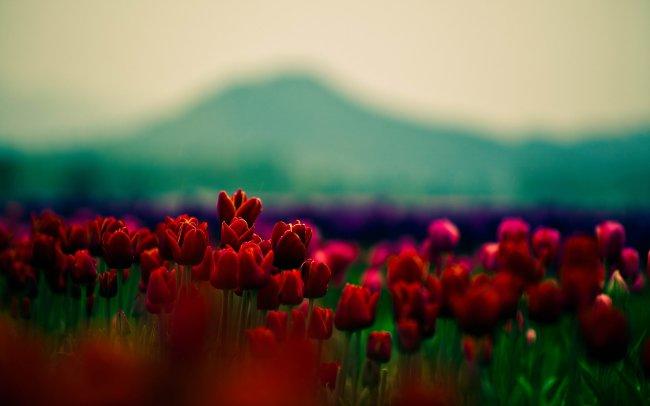 Поле тюльпанов на фоне гор
