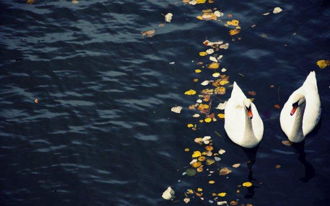 Лебеди в озере
