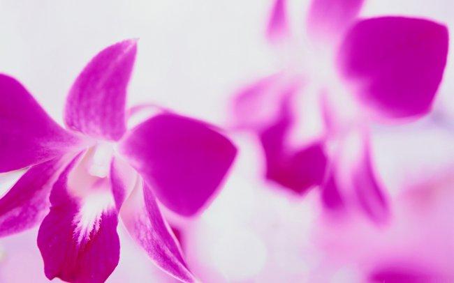 Розовые клематисы на белом фоне