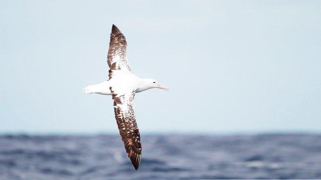 Альбатрос над морем