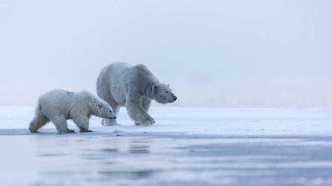 Полярные белые медведи