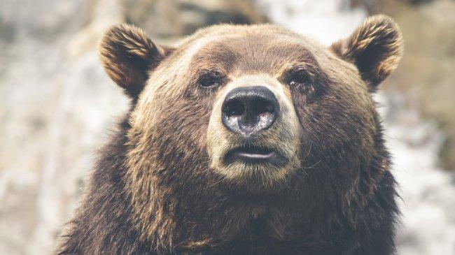 Гризли, серый медведь