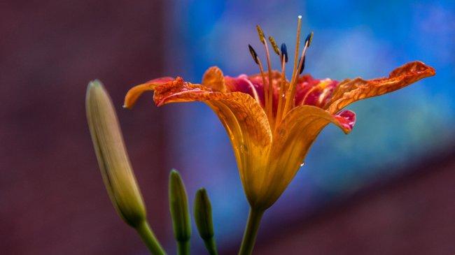 Цветок лилии из маленького парка в Джеймстауне