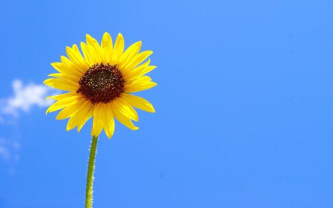 Жёлтый цветок на фоне голубого неба