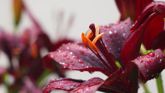 Цветок Лилии Бургундия и капли дождя