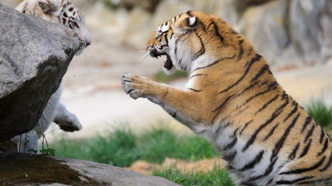 Борьба тигров