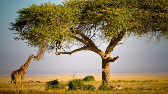 Жираф в Масаи-Мара