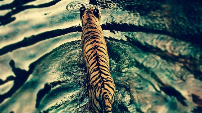 Тигр идущий по воде во время дождя