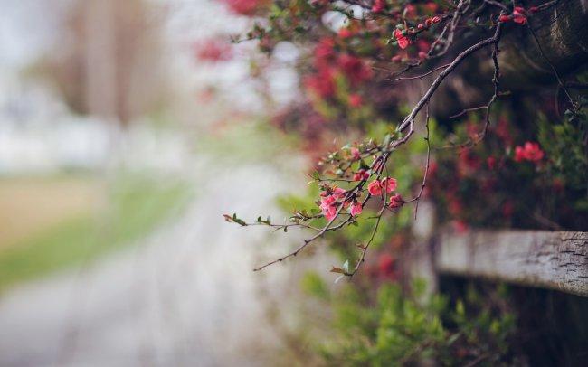 Цветущее дерево ярко розовыми цветами
