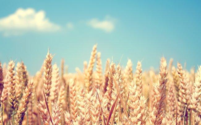 Колосья пшеници на фоне неба