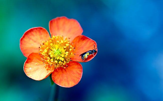 Оса на оранжевом лепестке цветка
