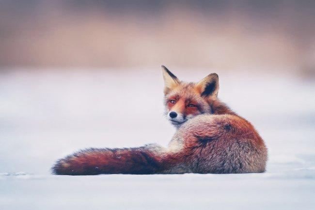 Лисица лежащая на снегу