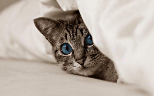 Голубоглазый кот выглядывает из-под подушки
