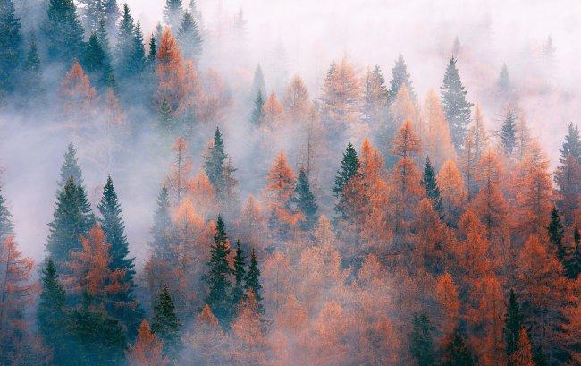 Туман опустившийся на хвойную рощу
