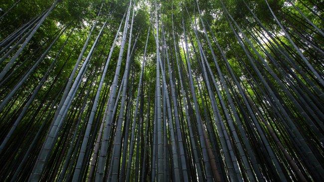 Высокие бамбуковые деревья