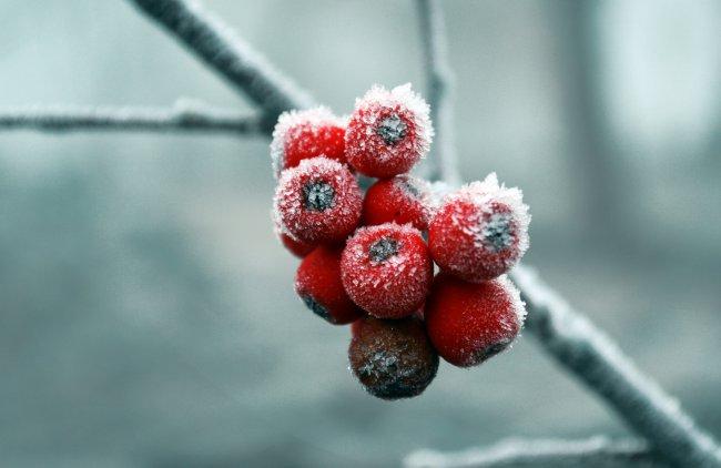 Красная рябина в снегу
