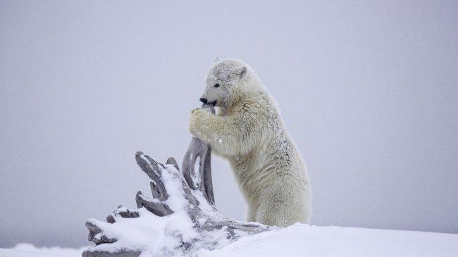 Белый медведь грызет корень дерева