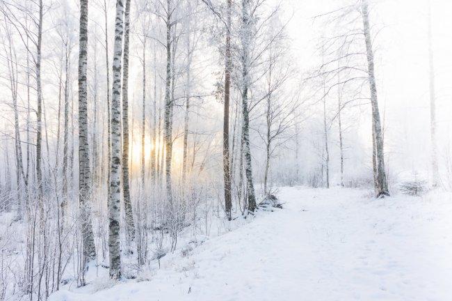 Березовая роща покрытая снегом