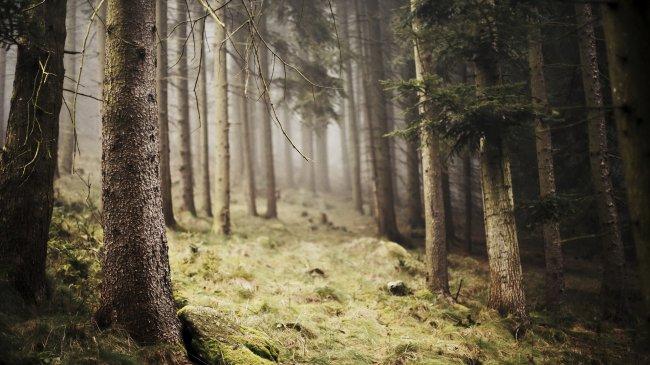 Туманность в хвойном лесу