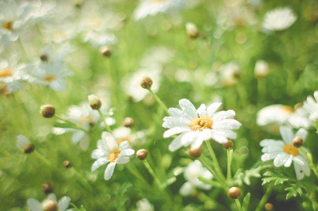 Ромашковые цветы с каплями утренней росы
