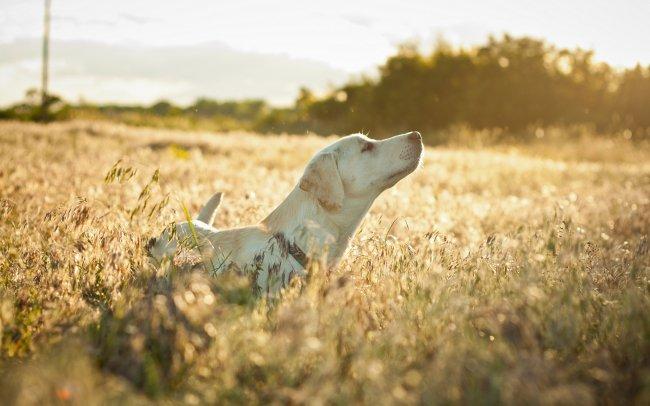 Палевый лабрадор в поле