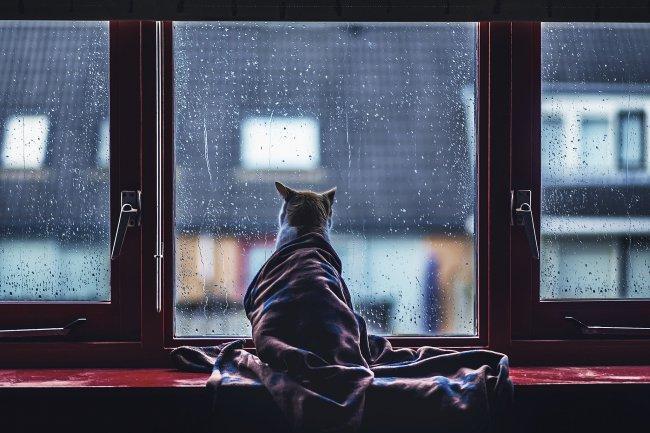 Кот укутанный в одеяло смотрящий в окно