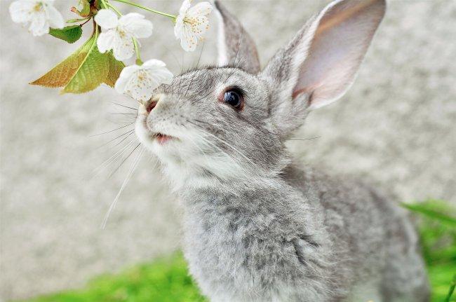 Серый кролик нюхает цветочки на ветке