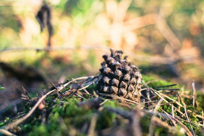 Шишка в лесу