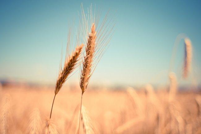 Зерновой поле