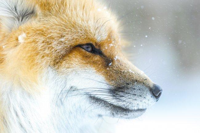 Морда лисы