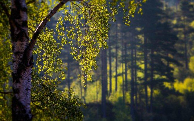 Береза в лесу