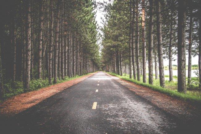 Аллея хвойных деревьев вдоль дороги