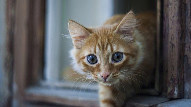 Рыжий кот смотрит из окна