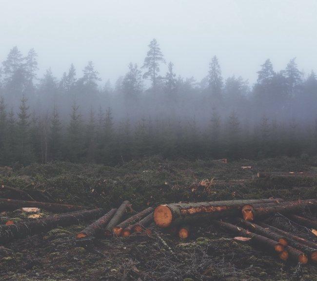 Срубленые стволы хвойных деревьев