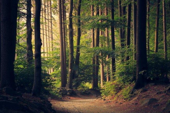 Пешая дорожка в густом лесу
